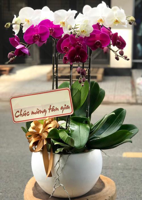 Chậu hoa Lan Hồ Điệp tại shop hoa tươi Bạc Liêu