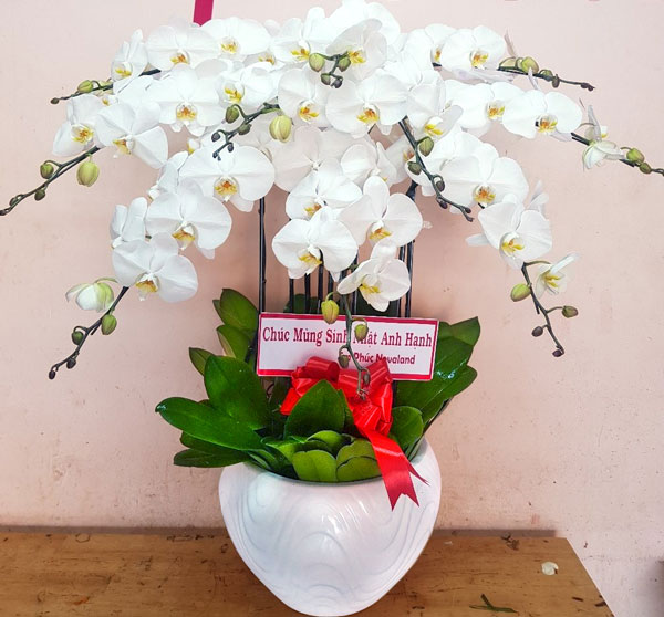 Chậu hoa lan hồ điệp tại shop hoa tươi Thuận An
