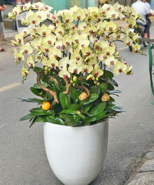 Chậu hoa Lan Hồ Điệp tại shop hoa tươi Hòa Bình