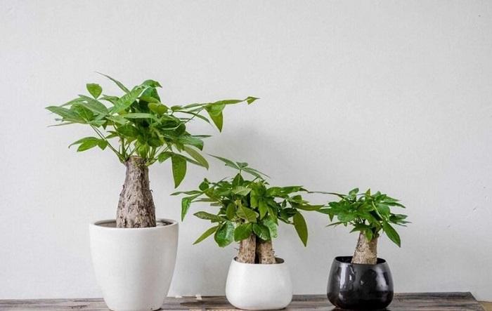 Cây kim ngân là một loại cây lọc không khí tốt