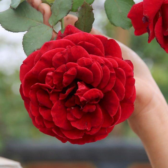 Vẻ đẹp Hoa hồng cổ Hải Phòng làm say đắm lòng người