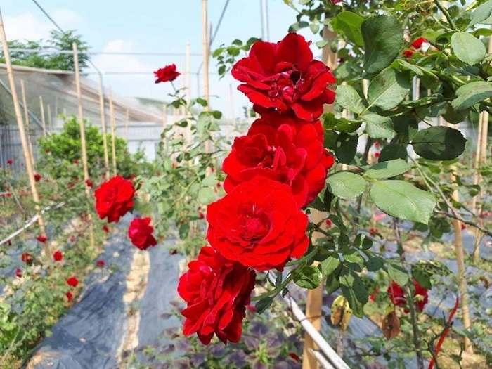 Hoa hồng cổ Hải Phòng trồng được khắp các tỉnh thành