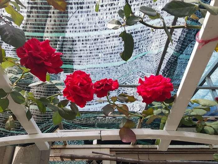 Hoa hồng cổ Hải Phòng leo giàn rất đẹp