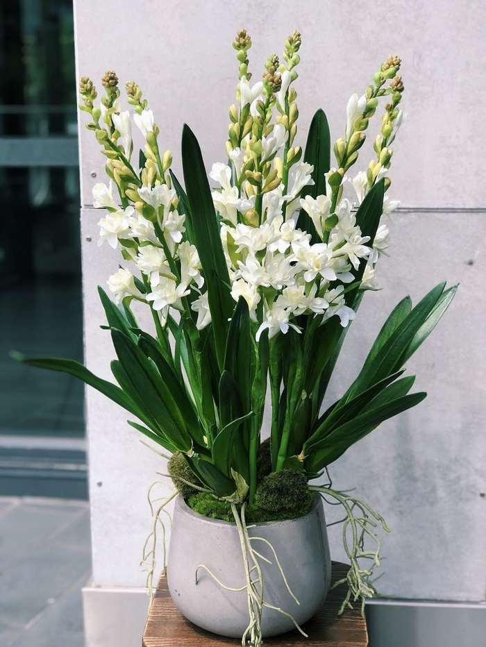 trồng cây hoa huệ