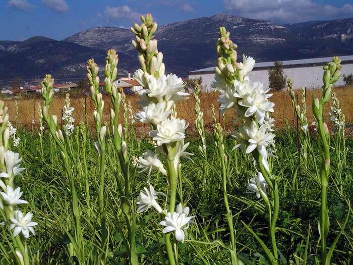 Đặc điểm cây hoa huệ