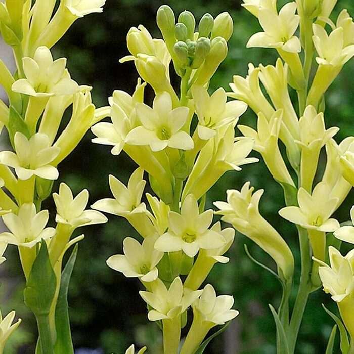 Hoa huệ vàng