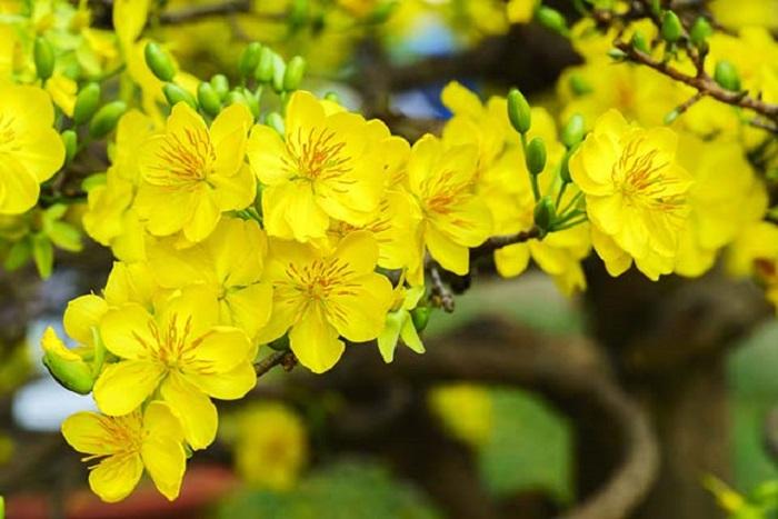 Hoa mai mang trong mình những đặc điểm nổi bật