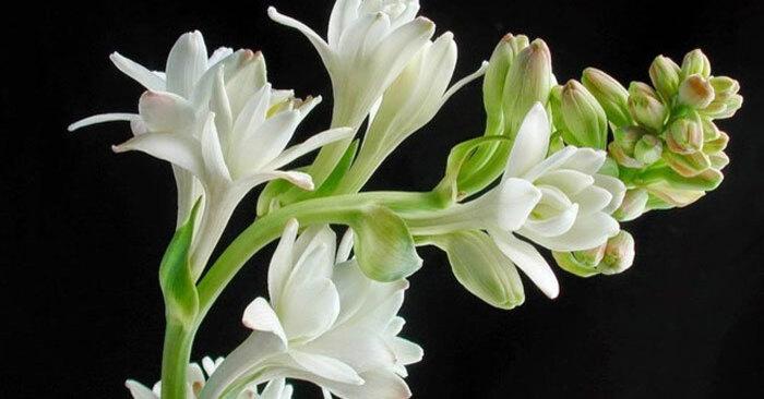 Hoa huệ loài hoa đẹp tinh khiết